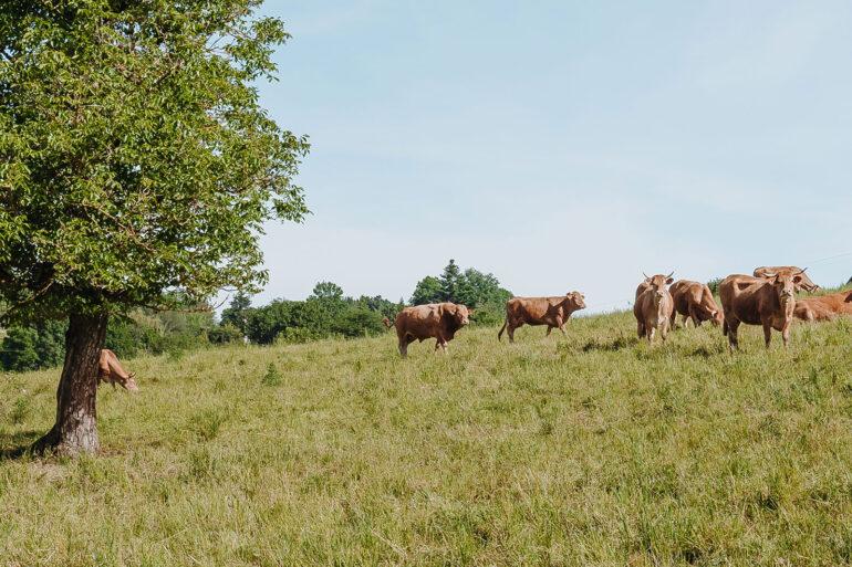 Vakantiedomein La-Bastide omgeving Nouvelle-Aquitaine limousin koeien landelijk