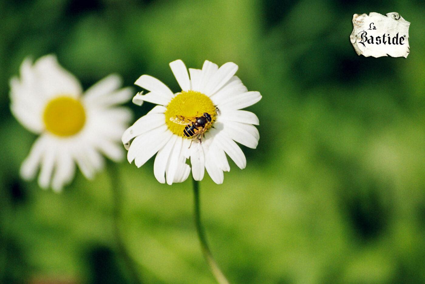 Videogalerij vakantiedomein La-Bastide daisy bloem met bij
