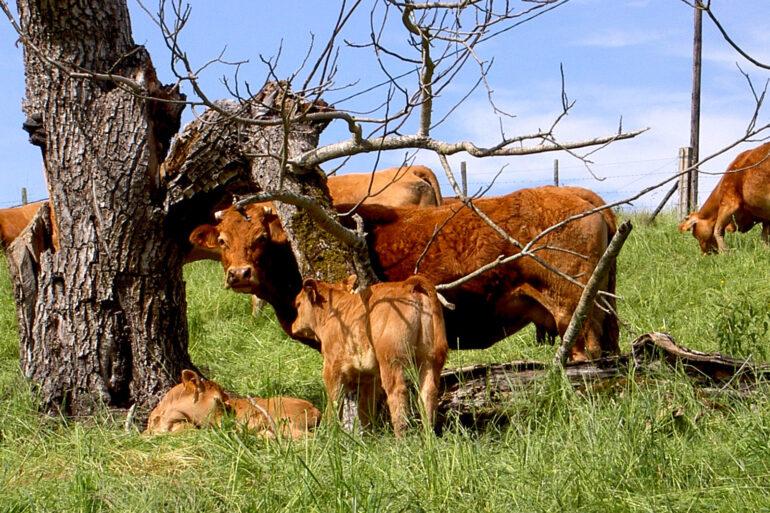Omgeving La-Bastide regio Limousin Limousine koe